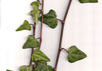 Hedera colchica 'Typ Russland'