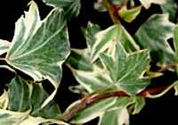Hedera helix 'Tenneriffe'