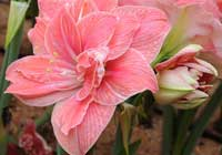 Hippeastrum 'Sweet Nymph'