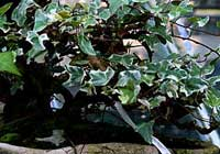 Hedera helix L. 'Lee Silver'
