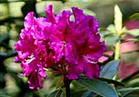 Rododendron 'Mad Cochet'