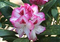 Rhododendron 'Accomac'