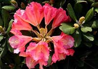 Rhododendron 'An Lindsay'