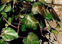 Hedera colchica L. Typ