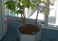 Ficus - Arrangement