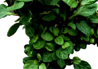 Hedera helix L. 'Very Merry'