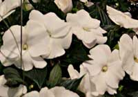 Impatiens guineensis-Hybride PARADISE™ 'Cabano'