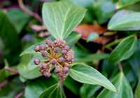 Hedera colchica 'Dendroides' K. Koch