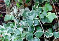 Hedera helix 'Anne Marie'