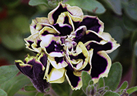Petunia grandeflora Juss. Mystical 'Midnight Gold'