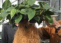 Airoponic - Philodendron scandens