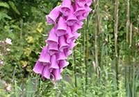 Digitalis purpurea L