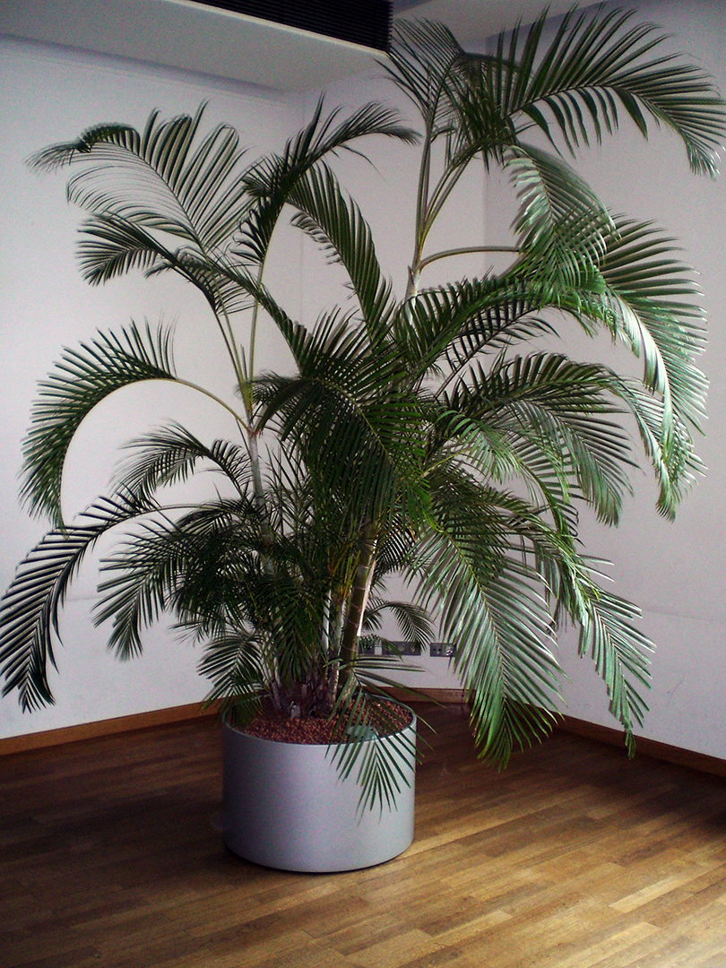 Dypsis lutescens (H.Wendl.) Beentje & J.Dransf.