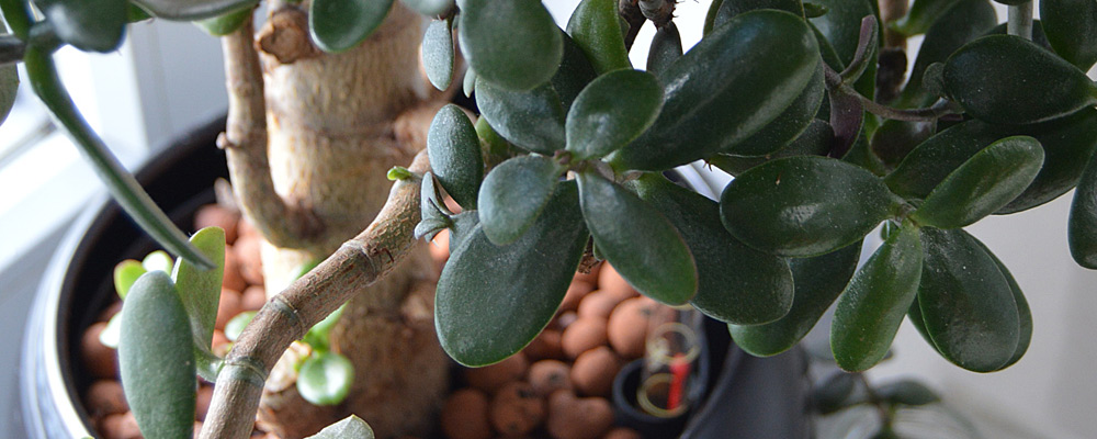 Crassula ovata (Mill.) Druce