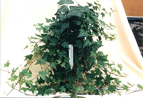 Hedera helix L. 'Cuspidata Major'