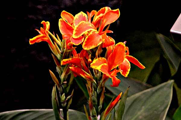 Canna ×generalis L.H. Bailey & E.Z. Bailey 'Red Yellow Flame'
