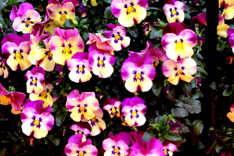 Viola × wittrockiana Pansy Cool Wave®Strawberry Swirl