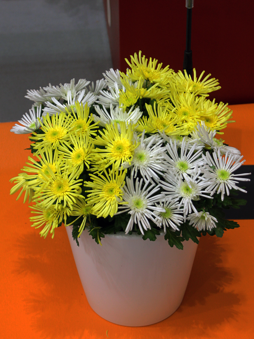 Chrysanthemum L. 'Hermosa White'