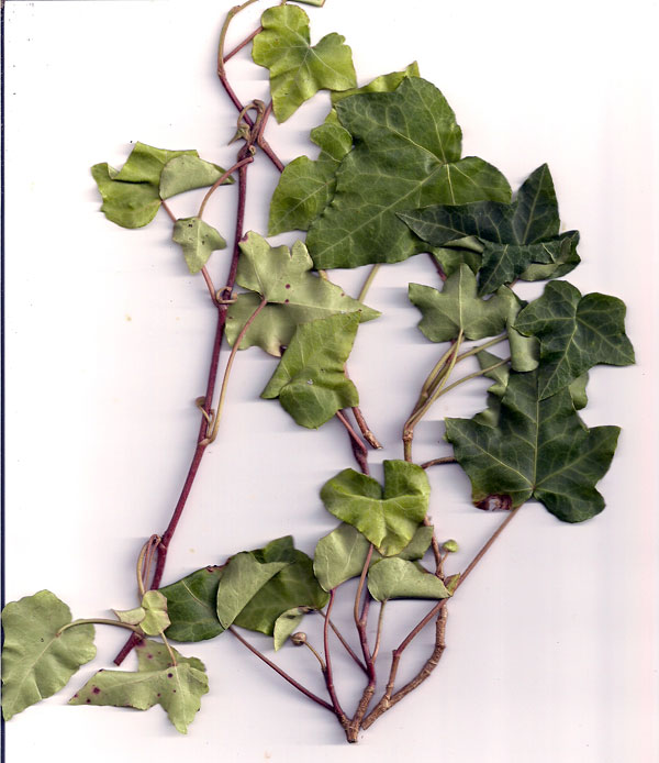 Hedera helix L. 'Jack Frost'