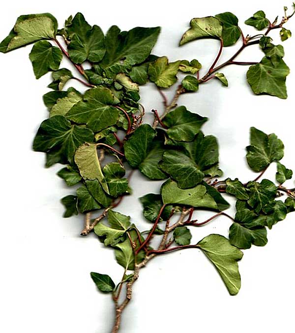 Hedera helix'Ulster'